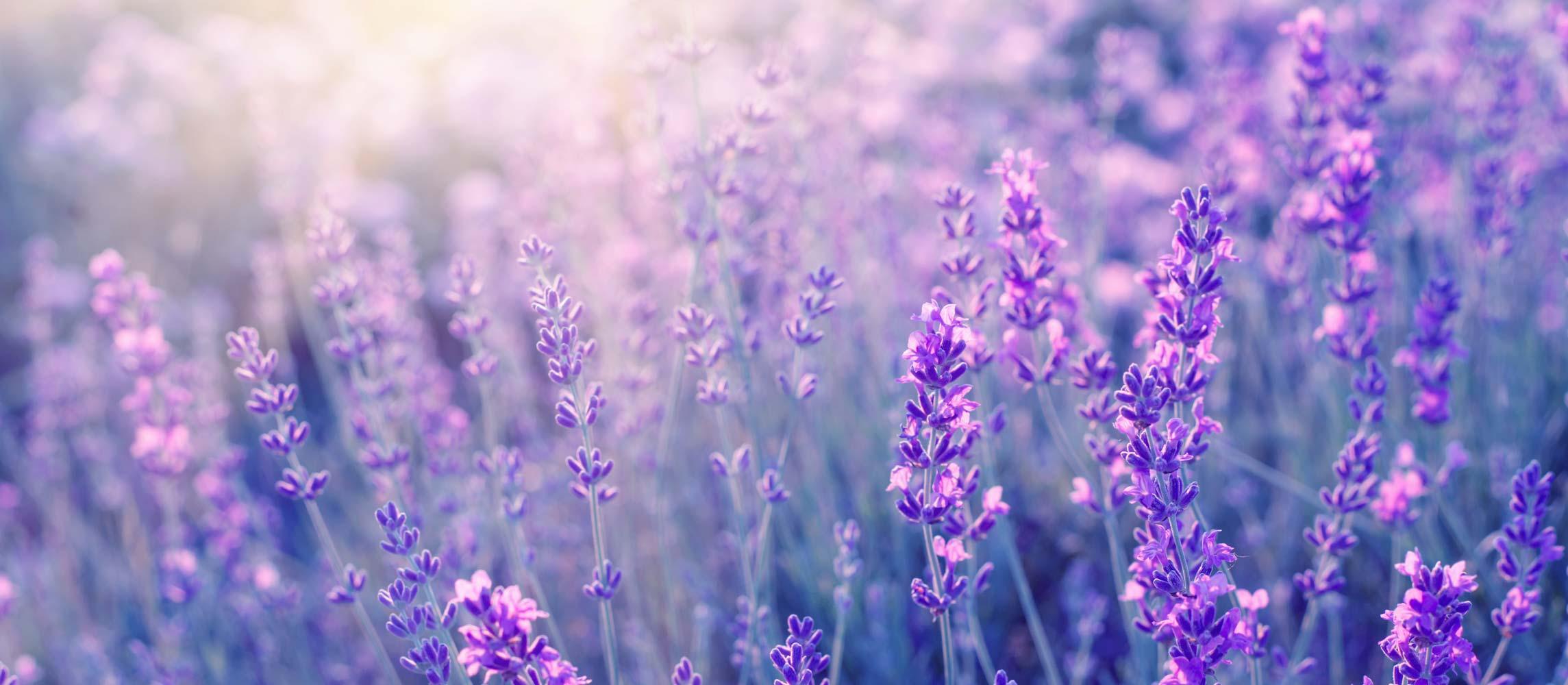 Echter Lavendel – Arzneipflanze des Jahres 2020